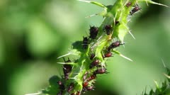 lot of aphids on plant macro - stock footage