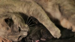Stock Footage - Female cat in labor - panting, pushing, contractions Stock Footage