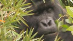 Silverback Mountain Gorilla feeding BCU Head Eyes Mouth Hands Stock Footage