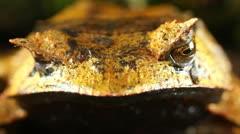 Stock Video Footage of Spix's Horned Treefrog (Hemiphractus scutatus)