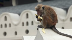 Monkey eats a banana in Sri Lanka Stock Footage