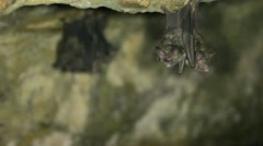 Roosting bats hanging in a cave Stock Footage