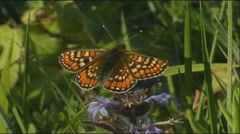 Marsh Fritillary Butterfly basking on flower Stock Footage