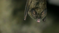 Roosting bats Stock Footage