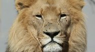 African lion portrait Stock Footage