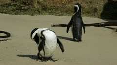 African penguins Stock Footage