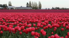 Tulips Red/Pink Stock Footage
