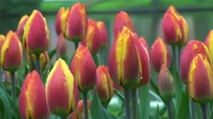 Tulipa flair - stock footage