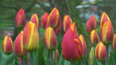Tulipa flair - stock footage