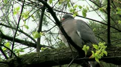 Wild Pigeon Stock Footage