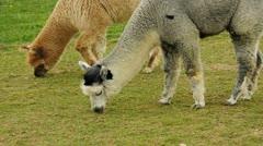 alpaca - stock footage