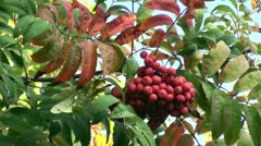 Rowanberry on wind Stock Footage
