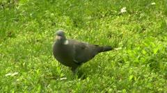 Wild Pigeon Stock Footage