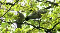 Wild Pigeons Stock Footage