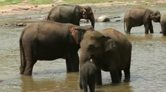 Elephants at the watering in the river Stock Footage