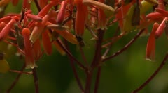 Red flower with bees entering tube or corolla for pollination (Aloe maculata) Stock Footage