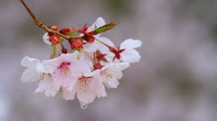 Rain drizzles on branches of cherry blossoms. Stock Footage