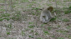 Japanese macaque. Stock Footage