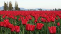 Red Tulips - Medium Closeup Stock Footage