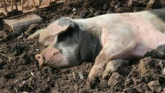 A pig resting in the mud - stock footage