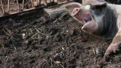 A yawning pig Stock Footage