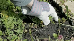Weeding the garden - stock footage