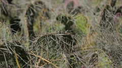 Short cactus Stock Footage