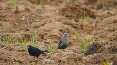 Blackbirds Cowbirds Stock Footage