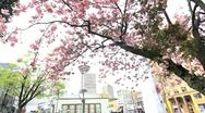 Stock Video Footage of Pink Cherry Blossoms Pan02