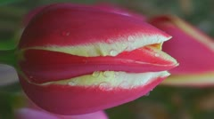 Stock Video Footage of Tulipa World's Favourite