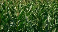 Summer corn crop Stock Footage