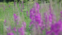 Purple Alpine Fireweed Stock Footage
