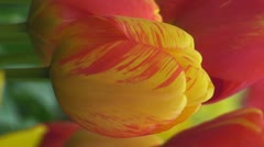 Red and yellow tulip Stock Footage