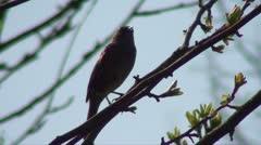 SINGING BIRD WITH AUDIO Stock Footage