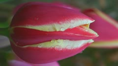 Tulipa World's Favourite Stock Footage