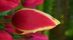 Tulipa candy apple delight Stock Footage