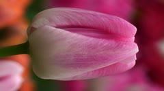 Tulipa barbacan Stock Footage