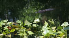 Swamp Alligator Stock Footage