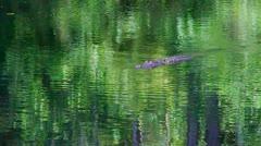 Slowly swimming alligator Stock Footage