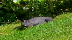 Alligators at the Okefenokee Swamp - stock footage