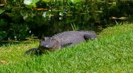 Stock Video Footage of Alligators at the Okefenokee Swamp