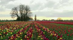 Sunset Over Wooden Shoe Tulip Farm Stock Footage