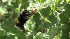 Bumblebee pollinating gooseberries Stock Footage
