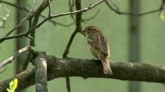 Sparrow Stock Footage