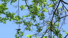 Flock of Sparrows Stock Footage