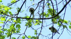 Two Sparrows - stock footage