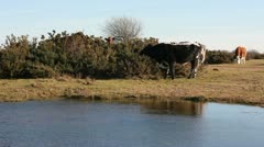 Cows grazing at Greenham Common Stock Footage