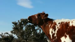 Cow grazing on a bush (two) Stock Footage