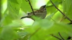 Sparrow - stock footage