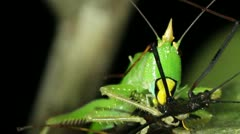 Carnivorous bush cricket eating a stick insect - stock footage